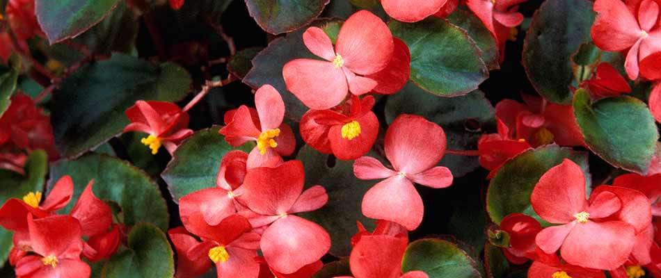 Red, blooming begonia flowers near Noblesville, IN.