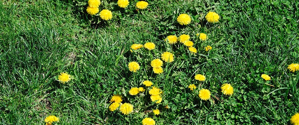 Dandelions are growing in this yard in Carmel, IN.