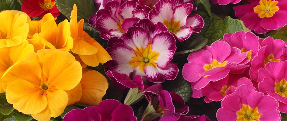 A close up photo of a variety of primrose flowers in Noblesville, IN.